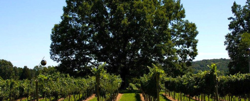 Wisdom Oaks Vineyard (photo: Wisdom Oaks website)